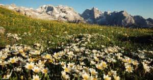Dolomiti di Brenta vista da Malga Fevri prato fiorito